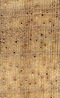 Ceiba (Ceiba pentandra) – Querschnitt (ca. 10x)