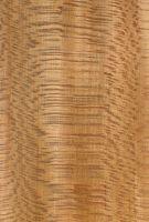 Platane (Platanus occidentalis) – radiale Oberfläche (natürliche Größe)