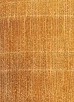 Linde (Tilia platyphyllos): Querschnitt (ca. 12x)