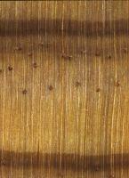 Radiata pine (Pinus radiata) – Querschnitt (ca. 12-fach)