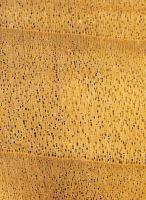 Pappel/Aspe (Populus sp.): Querschnitt (ca. 12x)