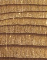 Lärche (Larix sp.): Querschnitt (ca. 12x)
