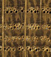 Weißeiche im Querschnitt (ca. 12-fach) mit deutlichem Unterschied in der Ausbildung der Spätholzporen gegenüber der Roteiche � Thünen-Institut