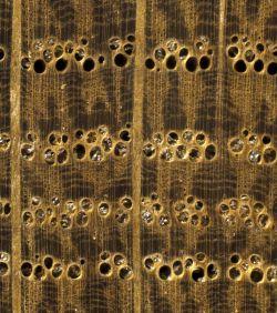 Weißeiche im Querschnitt (ca. 12-fach) mit deutlichem Unterschied in der Ausbildung der Spätholzporen gegenüber der Roteiche